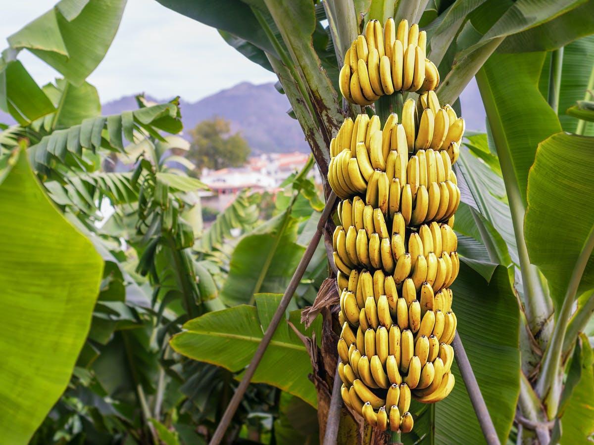 Buy Banana Trees, Banana Bulbs and Banana Plants For Spring Planting